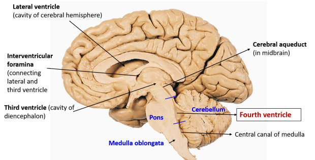 ventricles of brain including fourth ventricle