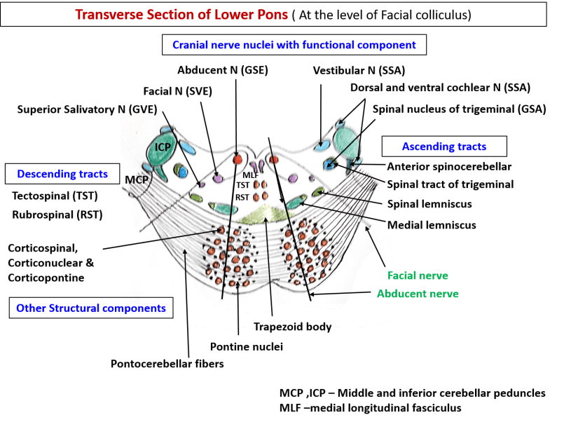 Pons anatomy -transverse section of lower pons at the level of facial colliculus