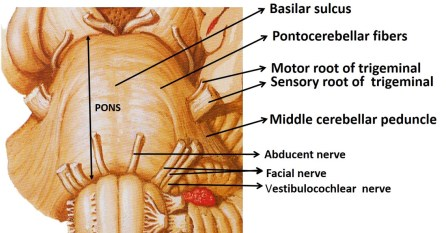Pons anatomy -ventral aspect of pons