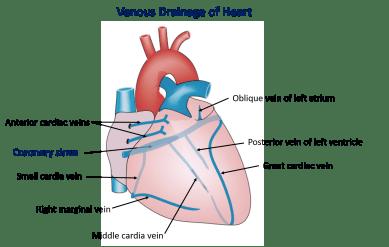 venous drainage of heart