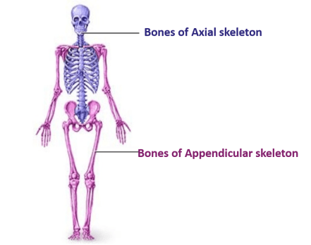 Bones of axial and appendicular skeleton