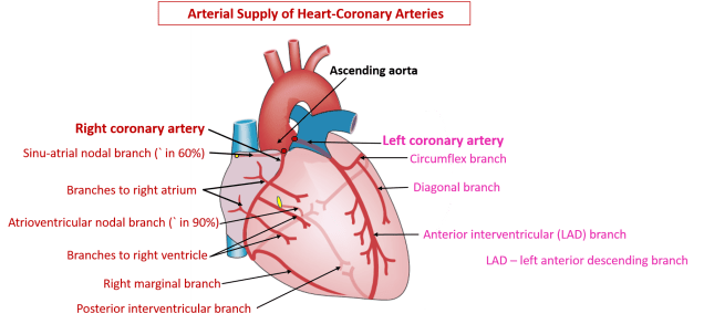 Arterial Supply of Heart - right and left coronary arteries, cardiac ...