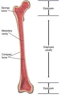 parts of long bone