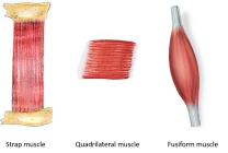 muscles with parallel muscular fasciculi