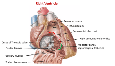 Right ventricle and tricuspid valve