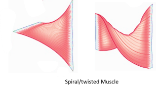 muscles with twisted fasciculi