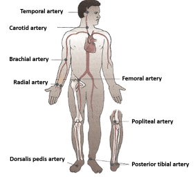 sites of arterial pulsation