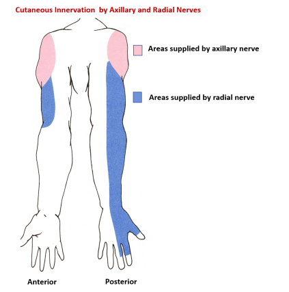 sensory supply by axillary and radial nerve