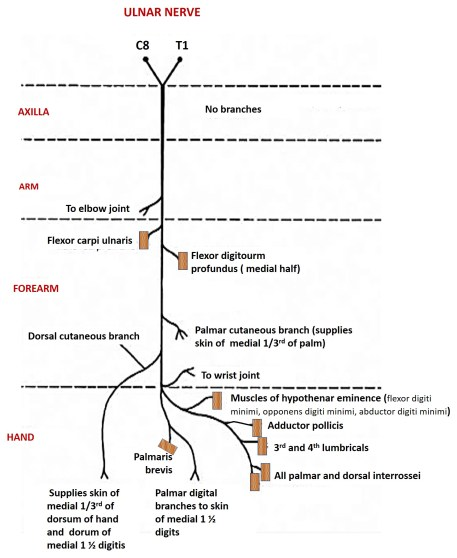 ulnar nerve , its branches and structures supplied by it