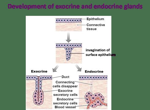devlopment of exocrine and endocrine glands