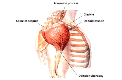 deltoid muscle origin and insertion