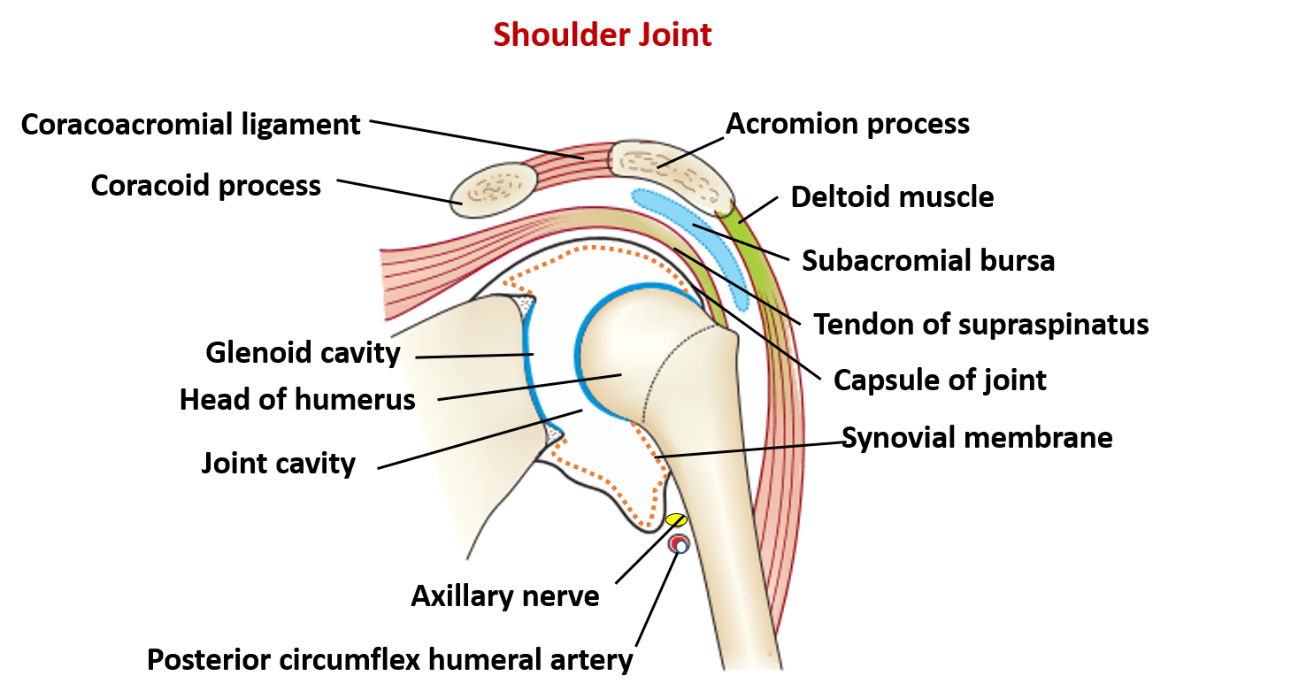 scapula diagram quiz bms system wiring shoulder joint type ligaments movements and applied