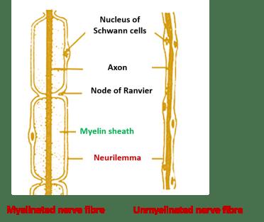 myelinated and unmyelinated nerve fibre