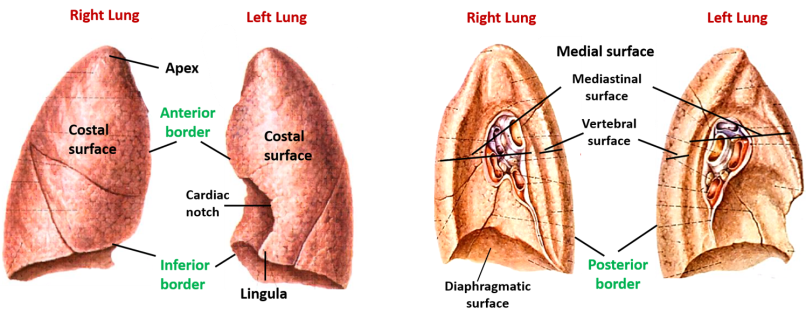 surfaces and borsders of lungs