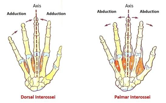 Palmar and dorsal interossei