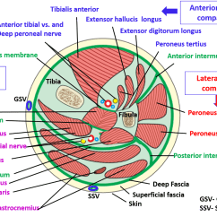 Medial Lower Leg Muscles Diagram Suzuki Jr 50 Carburetor Anterior Compartment Of Their Action And