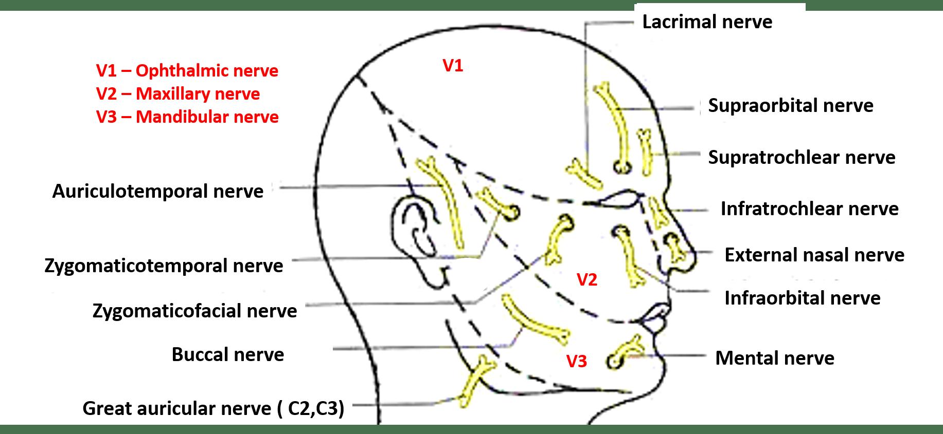 Face Nerve Supply
