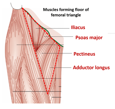 Femoral Triangle - Boundaries , structures forming floor and roof ...