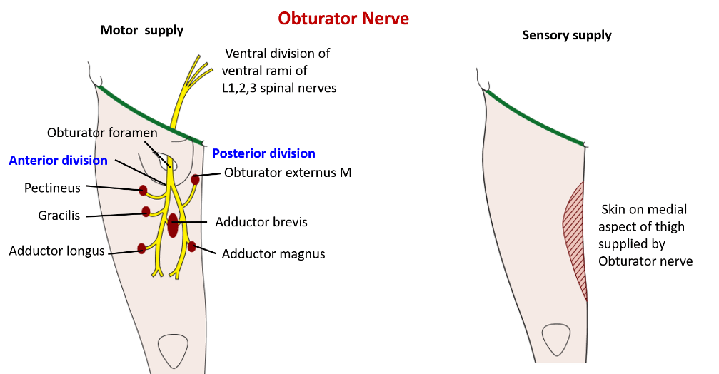 Obturator Nerve - origin, root value, course and branches
