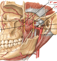 muscle part diagram [ 1930 x 1008 Pixel ]