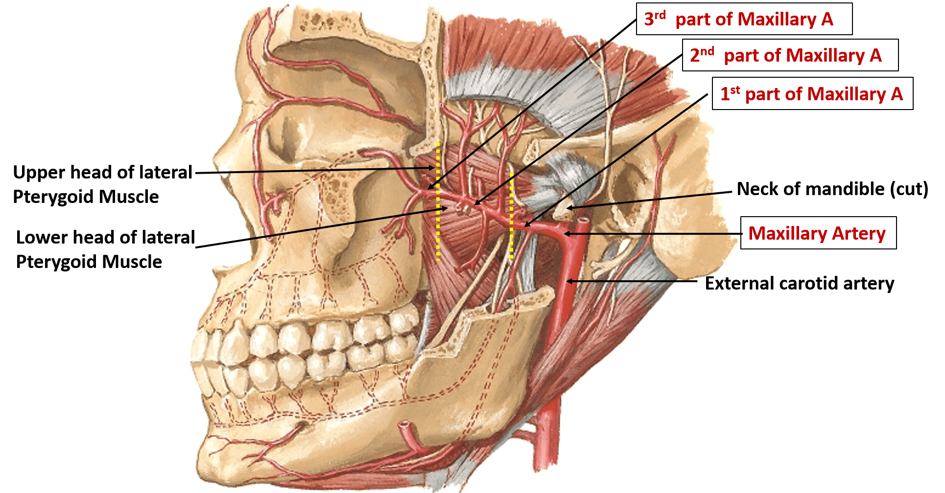 hight resolution of muscle part diagram