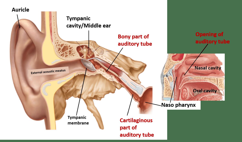 Auditory Tube - location, parts, nerve supply - Anatomy QA