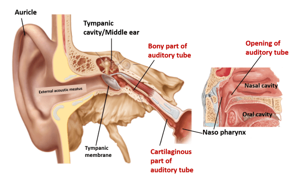 Auditory Tube - location, parts, nerve supply -