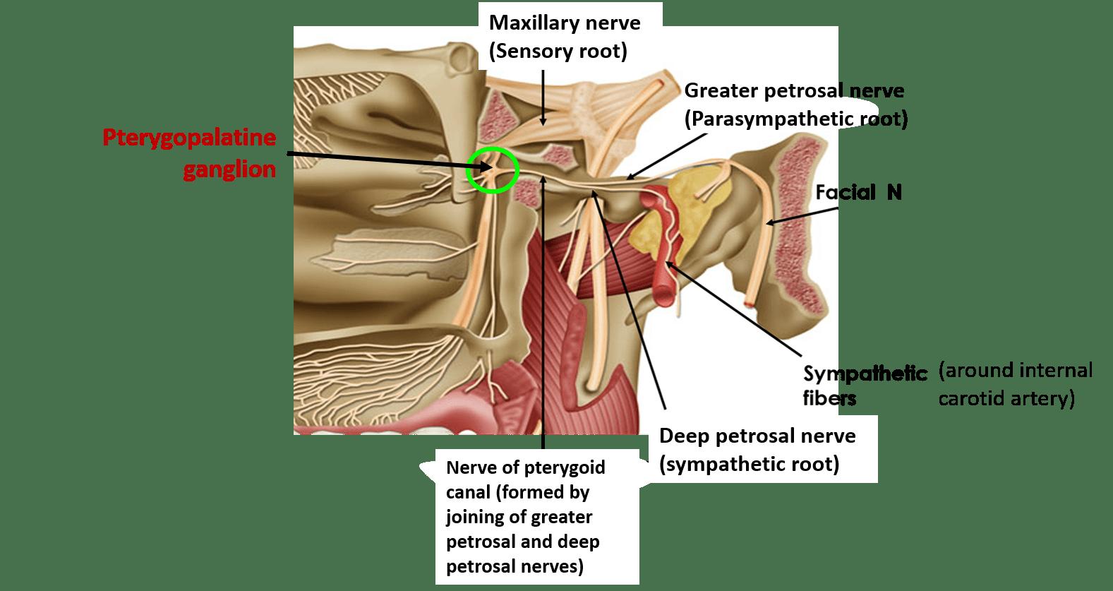 deep petrosal nerve