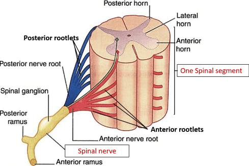 Typical Spinal Nerve Course And Branches