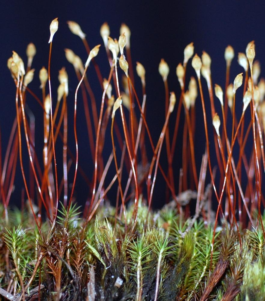 medium resolution of polytrichum commune
