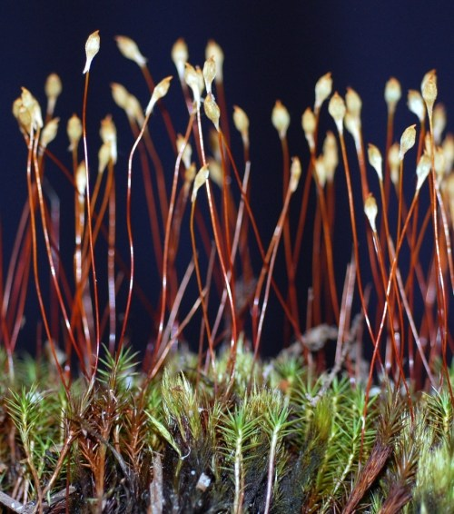 small resolution of polytrichum commune