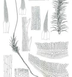polytrichum commune drawings rod seppelt  [ 1370 x 1890 Pixel ]