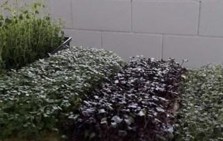 La empresa CEEIARAGON ZGreens cultiva microvegetales comestibles sin tierra ni sol