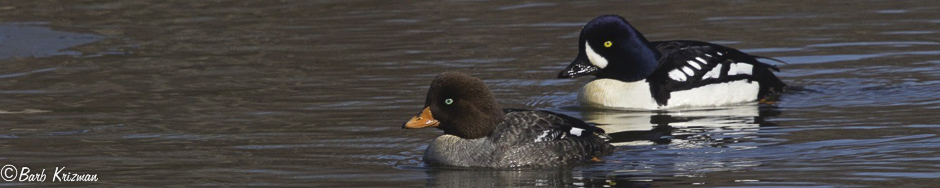 Barrow's Goldeneye with female