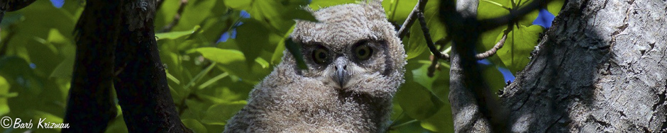 Owl Chick 1