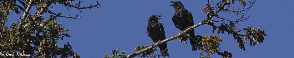 Common Ravens Talking