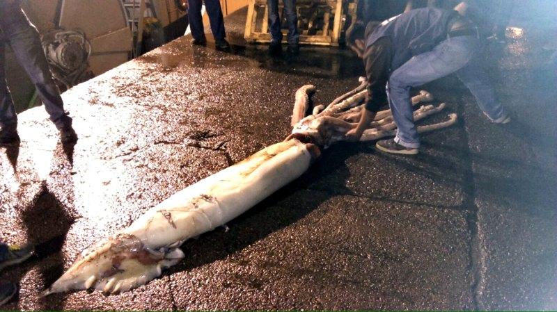 La aparición en las costas de todo el mundo de especies que se creían extintas o míticas, como los calamares gigantes, no dejan de sorprender a la comunidad científica. En la imagen calamar gigante capturado en las costas de Asturias, España. (Fotografía: El Mundo/CEPESMA)