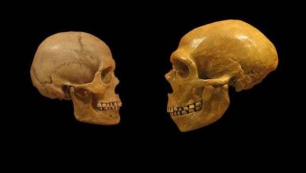 Comparación de los cráneos de un humano moderno (izquierda) y un Neandertal (derecha). (CC BY SA 2.0)