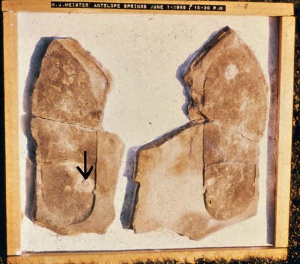 La huella de Meister. Foto proporcionada por Clifford Burdick en el año 1982. La flecha señala uno de los trilobites que aparecen en la muestra. (Fotografía: La Gran Época/talkorigins.org)