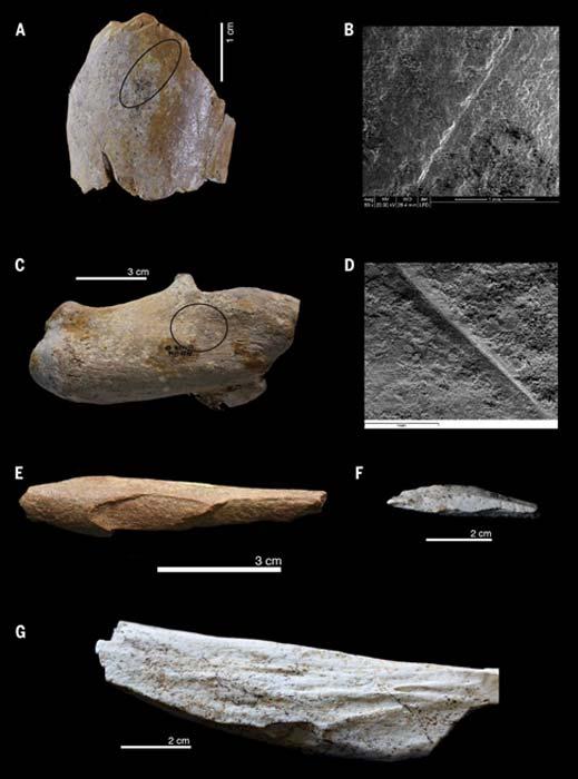 Evidencias de la actividad de antiguos homininos en huesos animales hallados en Ain Boucherit: (A y B) Marca de corte transversal en el húmero de un bóvido de tamaño medio (A) con detalle de micrografía obtenida mediante Microscopio Electrónico de Barrido (B). (C y D) Calcáneo de un équido con marcas de corte (C) con detalle de micrografía obtenida mediante Microscopio Electrónico de Barrido (D). (E) Hueso largo de tamaño medio con marcas de herramienta percutora de piedra. (F) Esquirla de un hueso. (G) Tibia de un équido con muesca de percusión cortical. (Sahnouni, M. et al)