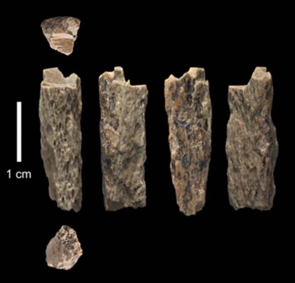 Este fragmento óseo ('Denisova 11') se encontró en 2012 en la Cueva Denisova en Rusia y representa a la hija de una madre neandertal y un padre denisovano. (T. Higham / Universidad de Oxford)