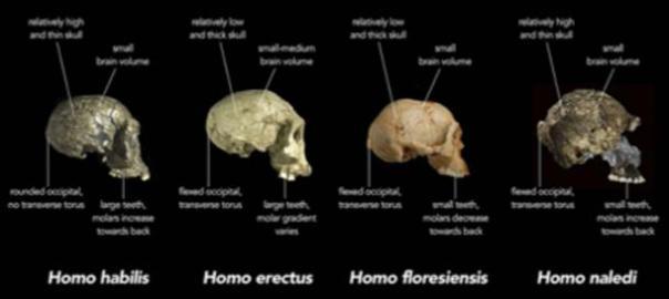 Primeras especies humanas de la Edad de Piedra. (Animalparty / CC BY-SA 4.0)