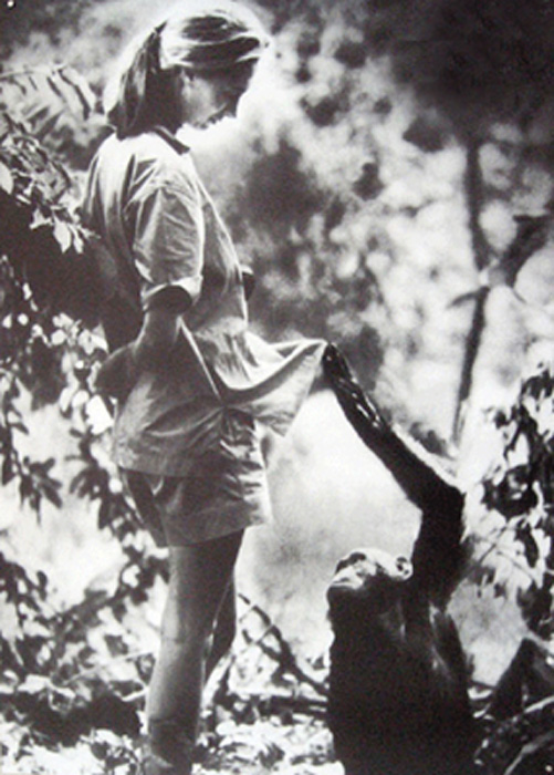British anthropologist and primatologist Jane Goodall with a chimpanzee
