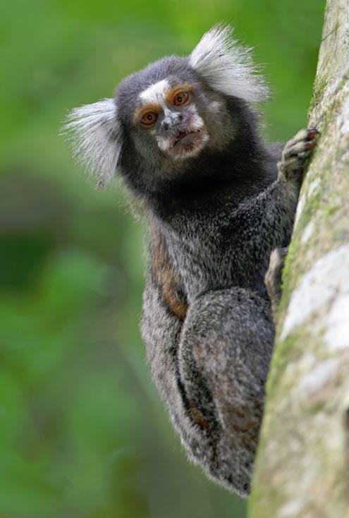 Primates sin pulgares oponibles incluye el tití ... definitivamente no guarda relación con Bigfoot.