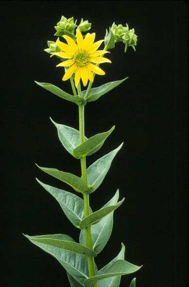 Silphium integrifolium.