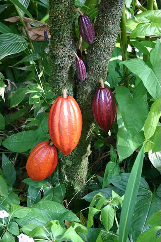Un albero di cacao con i baccelli di frutta in varie fasi di maturazione.