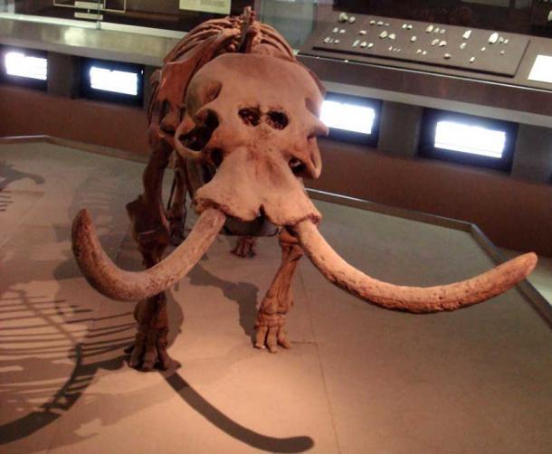 Elefante nano con grandi cavità nasali Siracusa, Italia - Museo Archeologico Regionale Paolo Orsi.