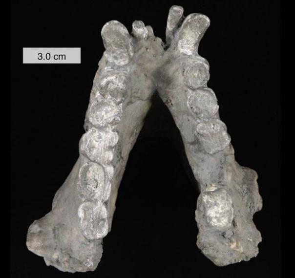 Fósiles de Gigantopithecus mandíbula blacki, un primate extinto.