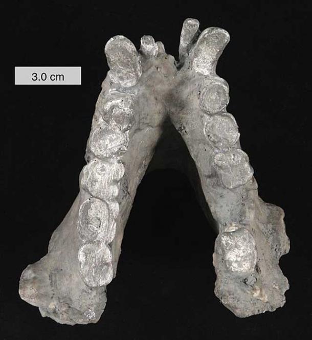 Mandibule inférieure de Gigantopithecus blacki (moulée).  Dans les collections du College of Wooster, Ohio.