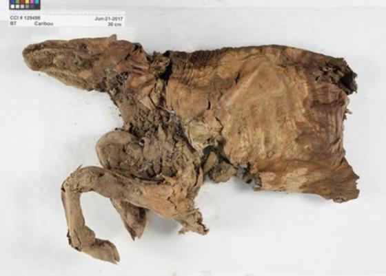 Mummified caribou found in Yukon.  (© Government of Canada, Canadian Conservation Institute)
